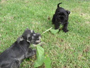 Razinpaws Kennels Miniature Schnauzers
