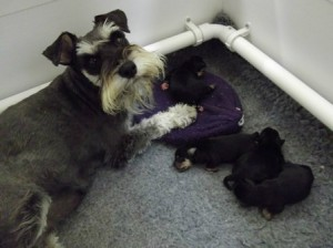 Indy and her pups (June 2014)