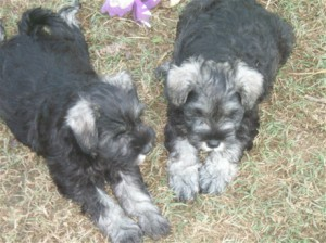 Pepper and salt unclipped 8 week old puppies