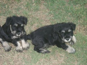 Black and silver puppies