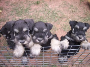 Black and silver 8 week old pups