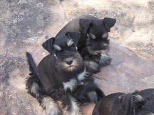 Black and silver pups