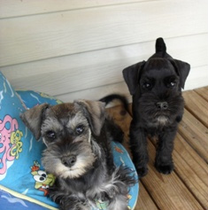 Pepper and salt and black 8 week old pups