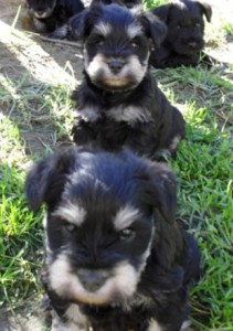 Black and silver 7 week old puppies